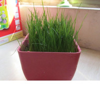 Jual benih rumput horta, biji rumput horta Murah