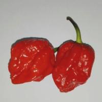 Benih Cabe Super Pedas Naga Brain Pepper-Isi 5 Biji