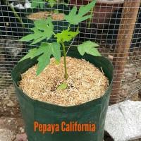 bibit tanaman buah pohon pepaya California