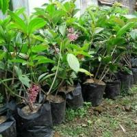 Tanaman herbal Parijoto penyubur kandungan