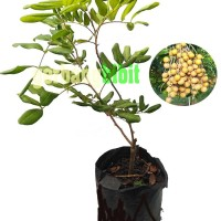 Bibit Pohon kelengkeng pingpong okulasi unggul siap buah
