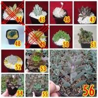 Kaktus Sukulen Terrarium Tanaman Hias Bibit