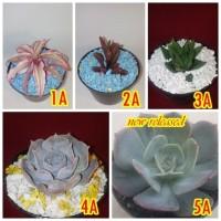 tanaman hias succulent bunga sekulen hiasan meja