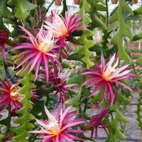 Tanaman Fishbone Cactus