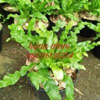 tanaman kadaka osaka