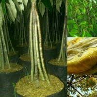 Bibit Durian Bawor kaki 4