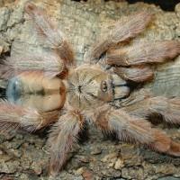 Psalmopoeus pulcher (Panama Blonde Tarantula)