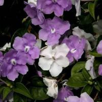 pohon melati bunga ungu putih