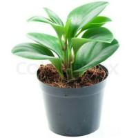 tanaman aglonema jemani plus pot