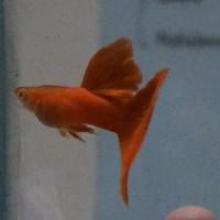 Ikan Guppy Albino Full Red ( Trio 1 jantan 2 betina siap ternak )