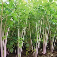 Purple Stalk Celery (Seledri Batang Ungu)