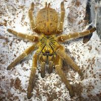 Pterinochilus murinus baby