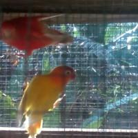 lovebird pastel kuning dan merah