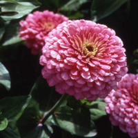 Zinnia Luminosa Pink (10 Biji) / Bibit Benih Bunga Hias Mudah Tumbuh