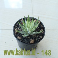 Kaktus Sukulen | 148. Haworthia Fasciata Variegated