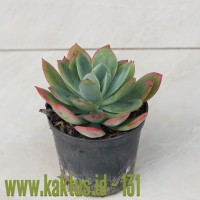 Kaktus Sukulen | 131. Echeveria Lemon and Lime