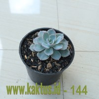 Kaktus Sukulen | 144. Echeveria Peacockii Desmetiana