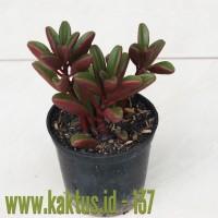 Kaktus Sukulen | 137. Peperomia Graveolens