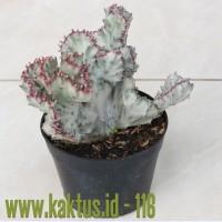 Kaktus Sukulen | 116. Euphorbia Lactea Cristata