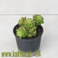 Kaktus Sukulen | 114. Sedeveria Letizia Cluster