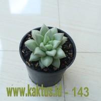 Kaktus Sukulen | 143. Echeveria C.J. Van Keppel