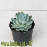 Kaktus Sukulen | 117. Echeveria Secunda