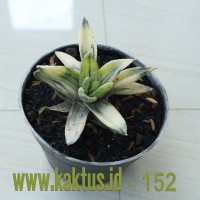Kaktus Sukulen | 152. Haworthia Lemon Stripes