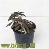 Kaktus Sukulen | 109. Euphorbia Decaryi Var. Spirosticha