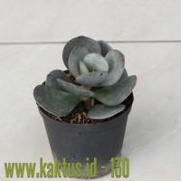 Kaktus Sukulen | 130. Crassula Arborescens