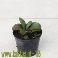 Kaktus Sukulen | 113. Gasteria Glomerata