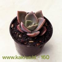 Kaktus Sukulen | 160. Echeveria CV. Huthspinke