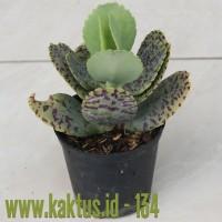 Kaktus Sukulen | 134. Kalanchoe Marmorata