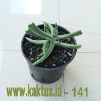 Kaktus Sukulen | 141. Kalanchoe Teretifolia