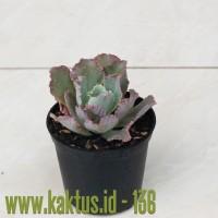Kaktus Sukulen | 136. Echeveria Chantilly