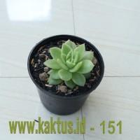 Kaktus Sukulen | 151. Echeveria Gilva