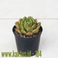 Kaktus Sukulen | 104. Echeveria Fantasia Carol