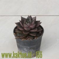 Kaktus Sukulen | 133. Echeveria Purpusorum
