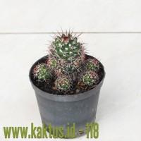 Kaktus Sukulen | 118. Mammillaria Backebergiana