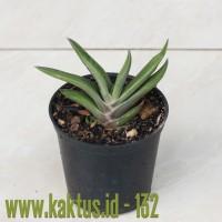 Kaktus Sukulen | 132. Gasteria Marmorata