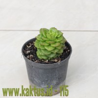 Kaktus Sukulen | 115. Sedeveria Letizia