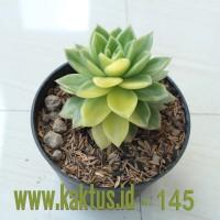 Kaktus Sukulen | 145. Echeveria Gilva Variegated