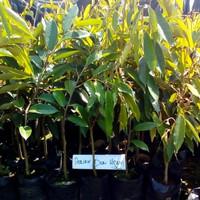 Bibit Tanaman Buah Durian Duri Hitam Ochee Kaki 3 Up To 70 Cm