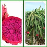 Jual bibit buah naga merah Murah