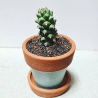 Deskplant_Succulent_Sukulen_Cactus_Kaktus_Monadenium ritchiei