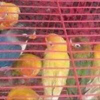 Burung Lovebird Dewasa Paskun / pastel kuning