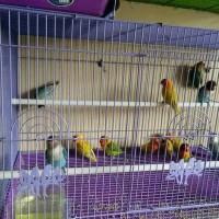 Burung Lovebird Paud Paskun / pastel kuning