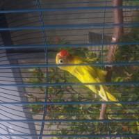Burung Lovebird blorok GS BC murah