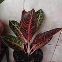 aglaonema pride of Sumatra