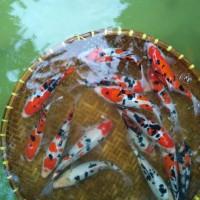 Ikan Koi Sanke Doitsu 22-26 cm . Asli Blitar. Harga Murah Meriah.