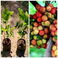 Bibit tanaman buah Rambutan Rapiah